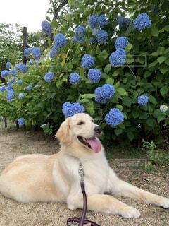 散歩道の紫陽花の写真・画像素材[3742371]