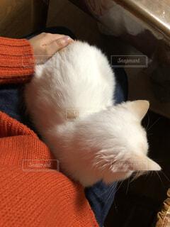 膝の上に座る猫の写真・画像素材[3747425]