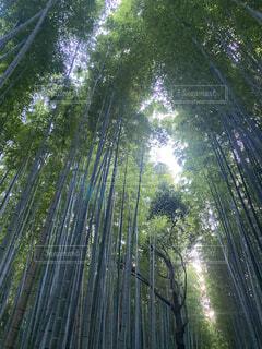 竹林を見上げるの写真・画像素材[3741952]