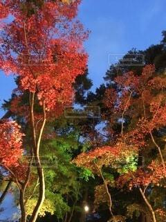 夜の紅葉の写真・画像素材[3743352]