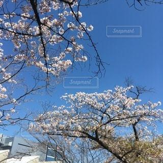 桜の写真・画像素材[3743477]