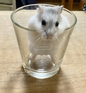 ガラスコップハムスターの写真・画像素材[4873572]