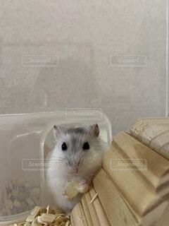 好きなオヤツを食べるハムの写真・画像素材[4898898]