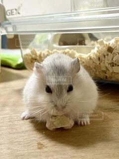 好きなデザートを食べるハムの写真・画像素材[4898899]