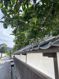 萩の白壁沿いの青みかんの写真・画像素材[3746375]