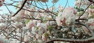 桜の写真・画像素材[3751683]