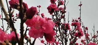 梅の写真・画像素材[3754363]