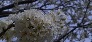 梅の写真・画像素材[3754370]