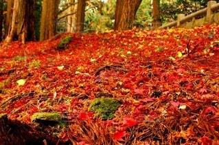 森の中の大きな木の写真・画像素材[3915073]