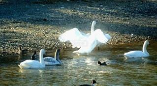 水の体で泳ぐ白鳥の写真・画像素材[4062370]
