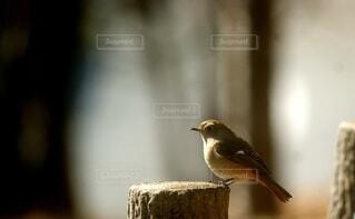 木製の棚の上に止まっている小鳥の写真・画像素材[4103883]