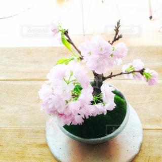 桜盆栽 - No.158915