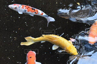 水の中の魚の写真・画像素材[4138174]