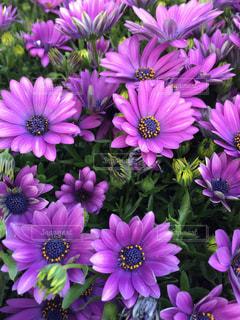 ピンクの花の写真・画像素材[395271]