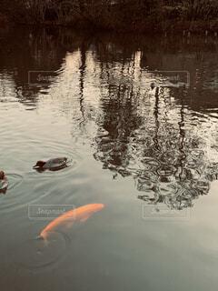 夕暮れの池の写真・画像素材[3941198]