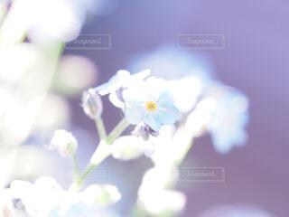 忘れな草の写真・画像素材[4305028]