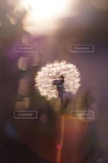タンポポの綿毛の写真・画像素材[4355901]