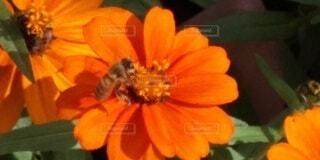 ミツバチと花の写真・画像素材[3770569]
