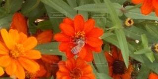 ミツバチの食事中の写真・画像素材[3770572]