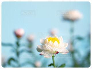 花かんざしの写真・画像素材[964806]