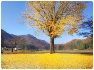金色銀杏の写真・画像素材[970571]