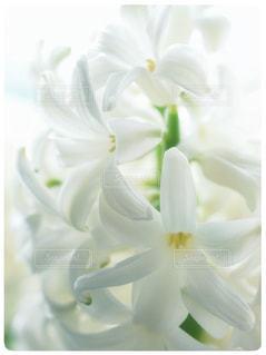 春を呼ぶ白いヒヤシンスの写真・画像素材[1008596]