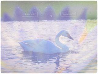 白鳥と睡蓮の写真・画像素材[1009636]