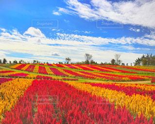 フィールド内の黄色の花の写真・画像素材[1025852]