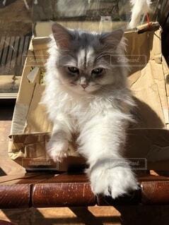 段ボールの上に座っている猫の写真・画像素材[3773704]