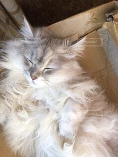 段ボールがベッドの猫の写真・画像素材[3773750]