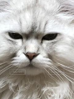 猫のクローズアップの写真・画像素材[3773752]