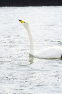 川を泳ぐ白鳥の写真・画像素材[4182779]
