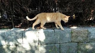 公園で歩く猫の写真・画像素材[3833263]