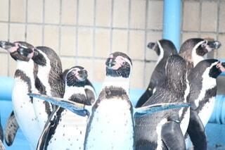 はばたくペンギンの写真・画像素材[3962525]