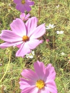 やさしい秋桜の写真・画像素材[3802869]