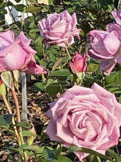 ピンクの薔薇の写真・画像素材[3870409]
