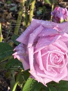 朝露のピンクの薔薇の写真・画像素材[3870411]