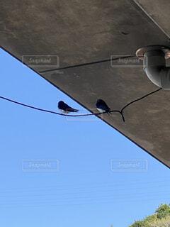 巣作りの下見をしているツバメの写真・画像素材[4339410]