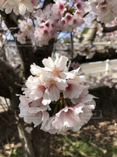 桜の花びらのアップの写真・画像素材[3865861]