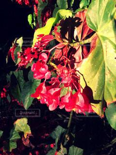 赤い花の写真・画像素材[3906471]