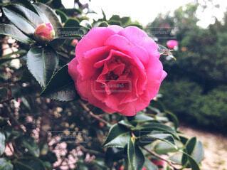 赤い花のクローズアップの写真・画像素材[3907096]