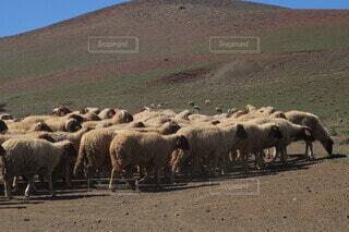 未舗装の道路の上に立つ羊の群れの写真・画像素材[3797592]