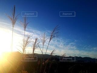 朝日と青空を背に立つススキの写真・画像素材[3801303]