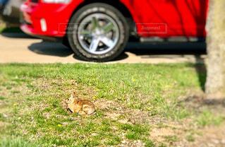 車の前に座っている野うさぎの写真・画像素材[4308710]