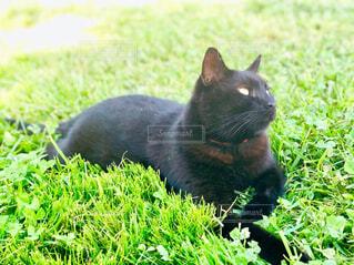 草で覆われている野原に横たわる黒猫の写真・画像素材[4560979]