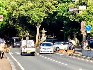 横断歩道を渡っている鹿の為に停止する車両の写真・画像素材[4687161]