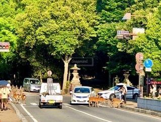 横断歩道を渡る鹿の群れの為に停止する車の写真・画像素材[4687162]