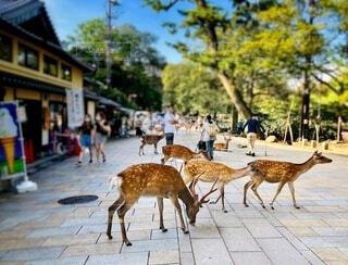 石畳みの歩道を歩く鹿の群れの写真・画像素材[4692454]