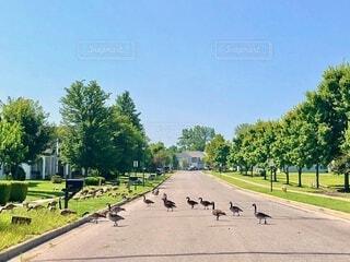 道路を横断している雁の群れの写真・画像素材[4696908]