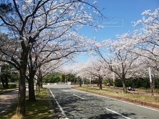 🌸桜道🌸の写真・画像素材[4668962]